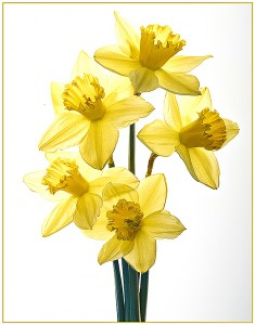MarciaFasy_CAVE_All-at-Once-I-Saw-a-Crowd-of-Daffodils