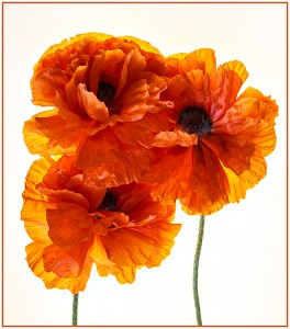 05G2_MarciaFasy_CAVE_GiantPoppies