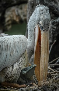 PattyBooth_CAVE_PrehistoricBabyPelican