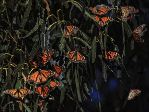 Over Wintering Monarchs copy