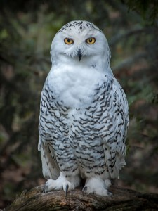 PattyBooth_CAVE_SnowyOwl