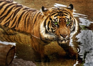 57_12g1_lauriescaruffi_cave_tiger