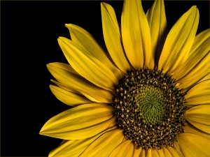 56_03G2_JanKloes_CAVE_Sunflower